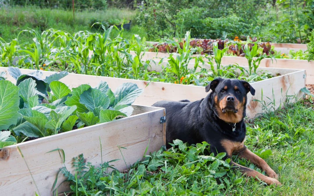 Pets and Garden Veggies